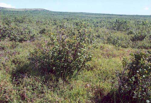 Low-shrub tundra (alder savannah), north of Kigluaik Mountains, Seward Peninsula, Alaska (Photo: D.A. Walker).