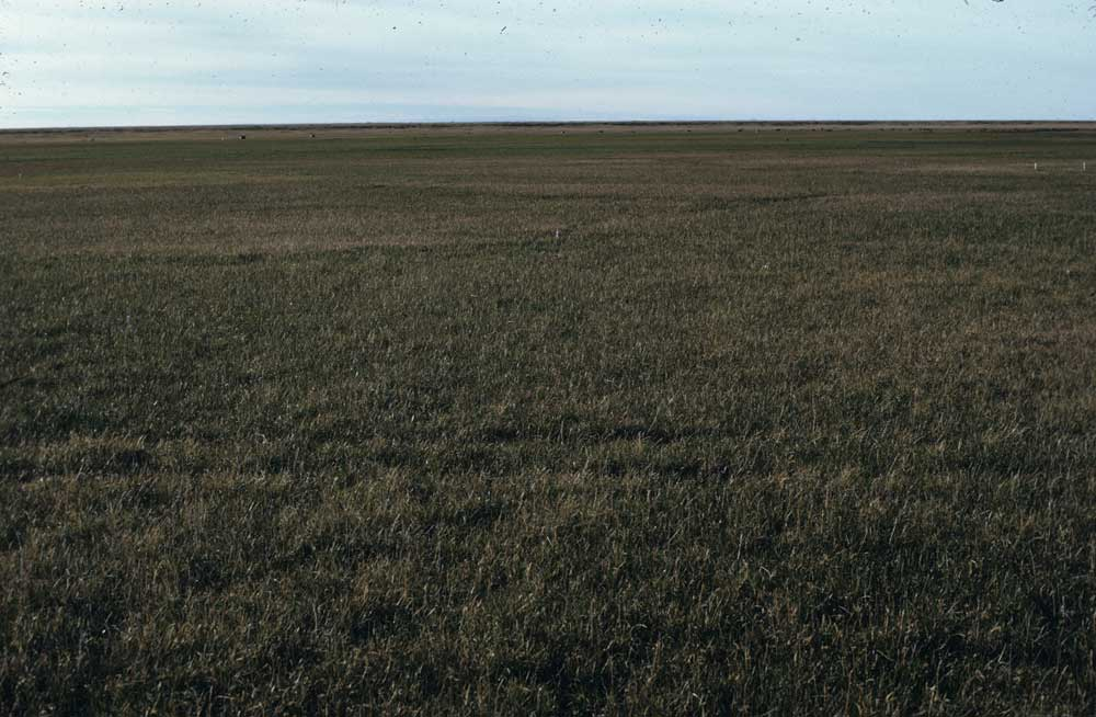 Photo C. Another meadow of <em>Eriophorum angustifolium</em>-<em>Carex aquatilis</em> subtype <em>Dupontia fisheri</em> at Barrow. Walker slide 74-?-11. D.A. Walker.