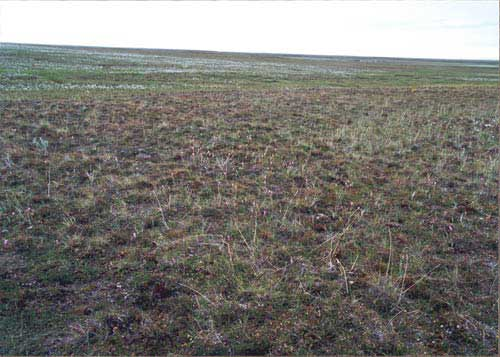 Tussock-sedge, dwarf-shrub, moss tundra, Community No. 16, on stabilized sand dunes near Inigok, Arctic Coastal Plain, Alaska. (Photo: D.A. Walker).