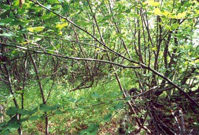 Understory of tall-shrub tundra (alders), Community 45, near Quartz Creek (Kougarok), Seward Peninsula, Alaska. (Photo: D.A. Walker).