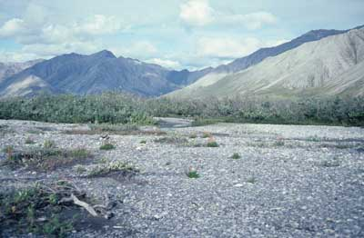 Photo C. <em>Epilobium latifolium</em> colonizing barren river alluvium, Brooks Range, Subzone E, Alaska. Walker slide 82-12-12. D.A. Walker.