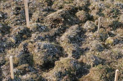 Photo B. Detail showing lichen-covered hummocks of <em>Dryas integrifolia</em>-<em>Carex rupestris</em> community. Walker slide 74-12-9. D.A. Walker.