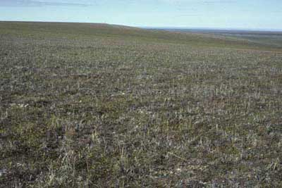 Moist non-tussock sedge, dwarf-shrub moss tundra (nonacidic tundra with non-sorted circles), variant of Community No. 27 with abundant Arctagrostis latifolia near the Kaktakturuk River, Arctic Coastal Plain, Alaska (Photo: D.A. Walker).