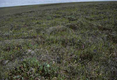 Moist non-tussock sedge, dwarf-shrub moss tundra (nonacidic tundra with non-sorted circles), Community No. 75, Sagwon Upland, Arctic Foothills, AK. (Photo: D.A. Walker).