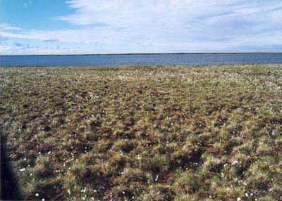 Tussock-sedge, dwarf-shrub, moss tundra on stabilized sand dune, Community No. 16. Atakasuk, Alaska. (Photo: D.A. Walker).