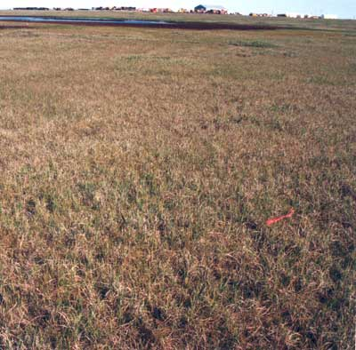 Photo A. A nonacidic version of communtity type <em>Eriophorum angustifolium</em>-<em>Carex aquatilis</em> at Barter Island. Elias et al. 1996, Fig. 9c. D.A. Walker.