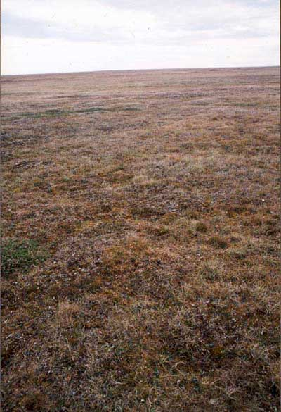 Moist tundra component of unit W1.1, Community No. 2 on acidic soils; Barrow, Alaska (Photo: D.A. Walker).