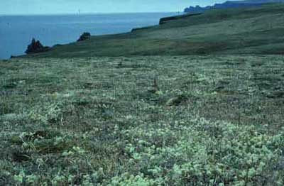 Lush lichen growth on Hall Island, St. Matthews group. Dry tundra. 1985. Photo: D.R. Klein.