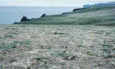 This lichen-dominated plant community with scattered hummocks of willow is on Hall Island that was never reached by the reindeer. It serves as a control for assessing the grazing impact of reindeer on similar communities on St. Matthew Island. Photo: D.R. Klein.