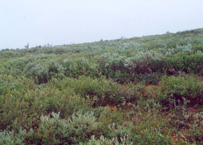 Low-shrub tundra (willow, birch), Community No. 44, Ophir Creek near Council, Seward Peninsula, Alaska (Photo: D.A. Walker).