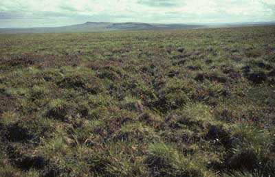 Shrubby tussock tundra; Arctic foothills, Alaska. Photo: D.A. Walker.