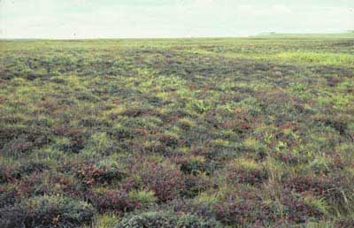 Shrubby tussock tundra near Toolik Lake, Alaska. Photo: D.A. Walker.