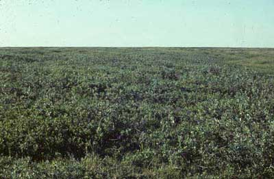 Low-shrub tundra (birch-willow), Community No. 44, near Happy Valley, Arctic Foothills, Alaska (Photo: D.A. Walker).