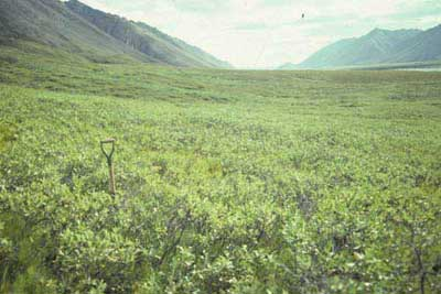 Low-shrub tundra (willow), Atigun River, Brooks Range, Alaska (Photo: D.A. Walker).